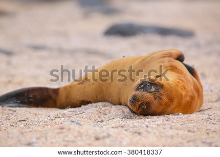 Young Galapagos sea lion lying on the beach (Zalophus wollebaeki) on North Seymour Island, Galapagos National Park, Ecuador