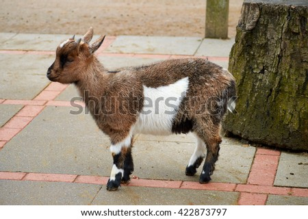young goat with nice wool
