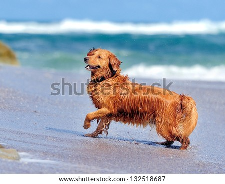 Young golden retriever running on the beach