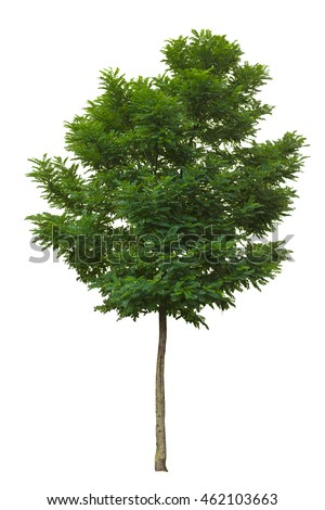 Young green ash tree isolated on white background
