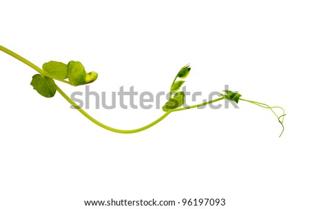 young green sprout of peas isolated on white background