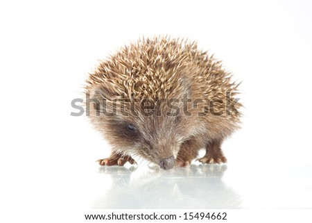 Young hedgehog in front of a white background