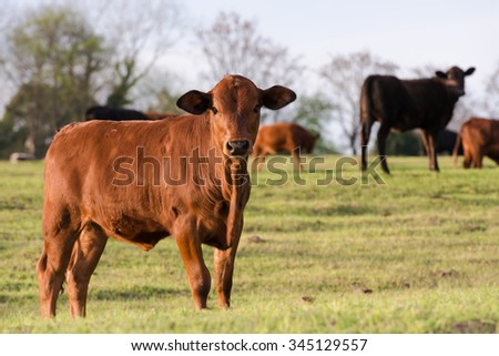 young heifer