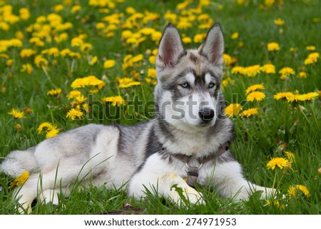 Young husky resting on a grass