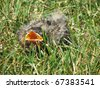Young Injured American Robin in Grass - stock photo