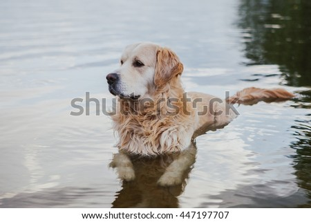 Young labrador relaxes in the water