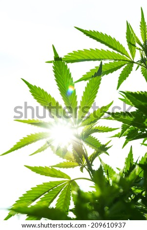 Young leaf of marijuana plant detail at sunset. Closeup isolated on white background.