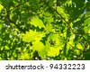 young leaves of oak - stock photo