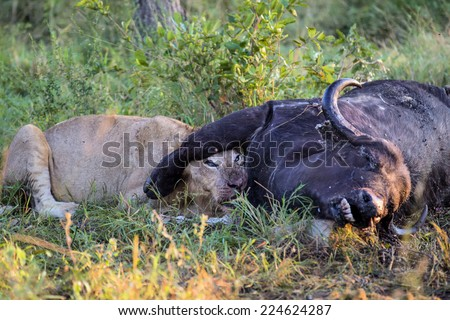 Young Male Lion feeding on dead buffalo carcass