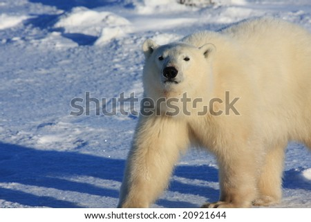 Young male polar bear walking in the arctic on snow