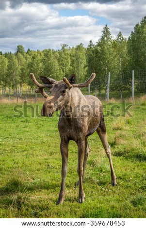 Young moose bull in the wild