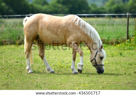 Young pale filly in a paddock eating