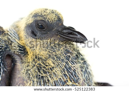 young pigeons on white background
