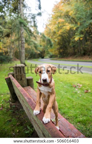 Young Pit Bull Puppy Standing on Old Red Bench