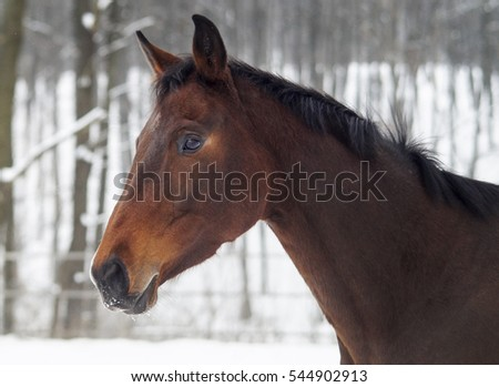 Young red horse with a white blaze on his nose is on the background of the winter forest