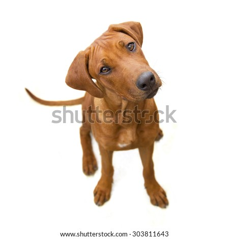 Young reddish dog from above, head sideways, isolated  on white  background