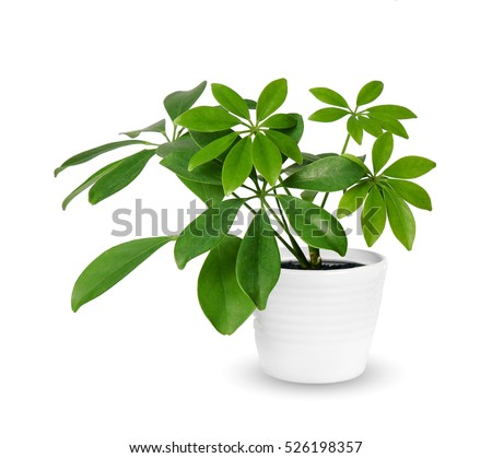young Schefflera a potted plant isolated over white