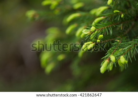 Young shoots on a fir tree
