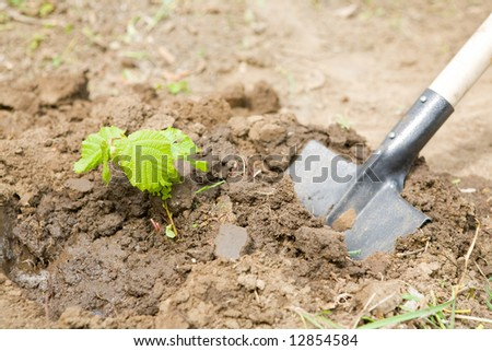 young small tree on the shovel