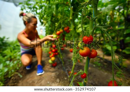 Young Smiling Woman Picking Fresh Vegetables Stock Photo 556906330
