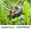 young song thrush chick sitting in the grass - stock photo