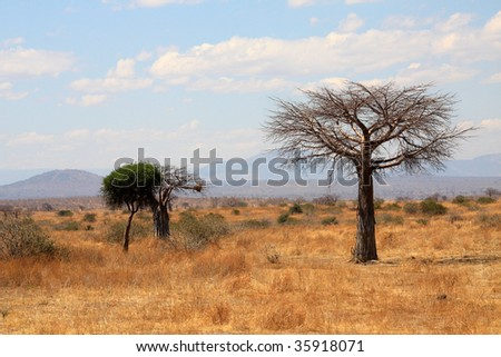 Young thin baobab tree in plain African savanna.   Ruaha National Park, Tanzania, Central Africa.