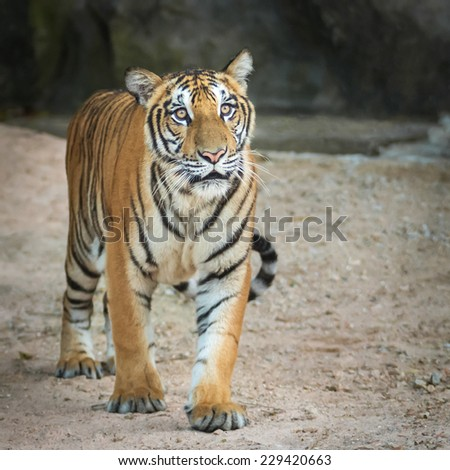Young tiger walked towards the victim.