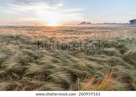 Young wheat growing in green farm field under blue sky on sunset