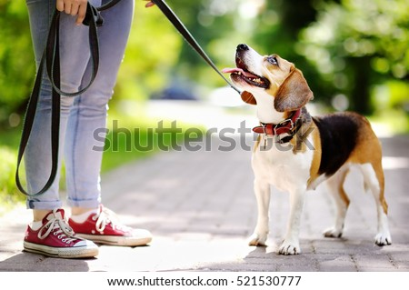 Young woman walking with Beagle dog in the summer park. Obedient pet with his owner