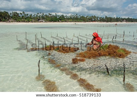 ZANZIBAR, TANZANIA - OCTOBER 25, 2014: Unidentified woman harvesting cultivated seaweed in the shallow, clear coastal waters of Zanzibar island