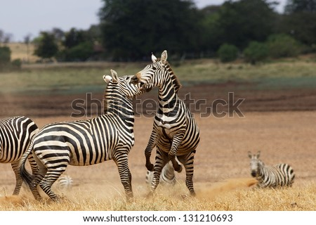 Zebra fight 04