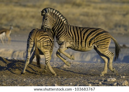 Zebra fighting, biting at golden light