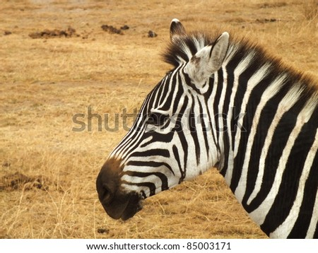 zebra head close-up on the side