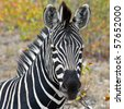 Zebra in Kruger National Park, South Africa - stock photo