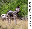 Zebra in Kruger National Park, South Africa - stock photo