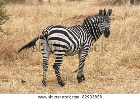 Zebra in Tarangire National Park
