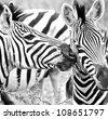 Zebra kisses in South Africa - stock photo