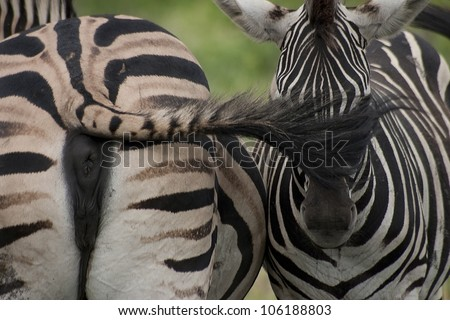 Zebra's eye shielded by it mothers tail