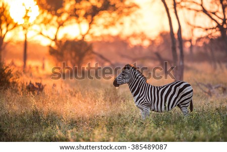 Zebra standing alert in the early morning light in Khwai in Botswana