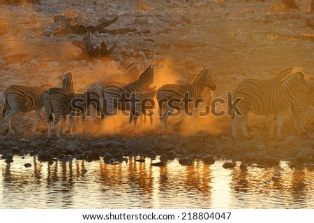 Zebras at sunset at Okaukeujo waterhole, Namibia