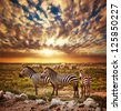 Zebras herd on savanna at sunset, Africa. Safari in Serengeti, Tanzania - stock photo