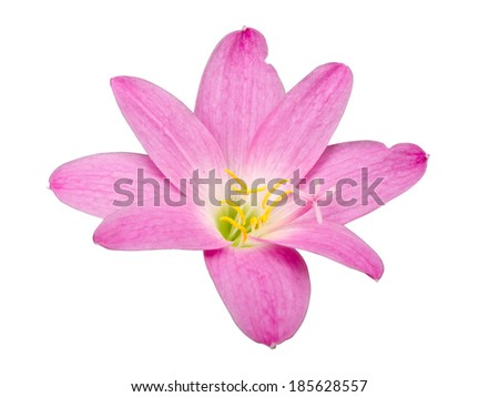 Zephyranthes Lily, Rain Lily ,Fairy Lily, Little Witches in Pink color isolated with clipping path