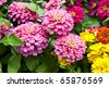 Zinnia elegans flowers - stock photo