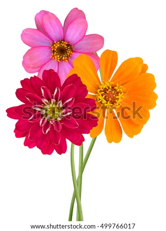 Zinnia flowers on a white background