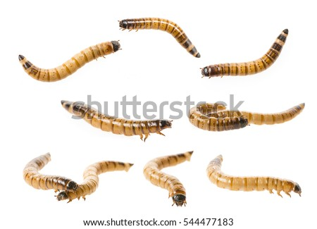 Zophobas atratus/ morio - meal worm isolated on white