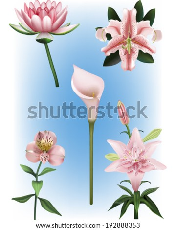 A Collection of Pink Lily Vector illustrations