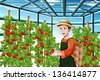 A vector illustration of  a happy farmer harvesting tomatoes in a greenhouse - stock vector