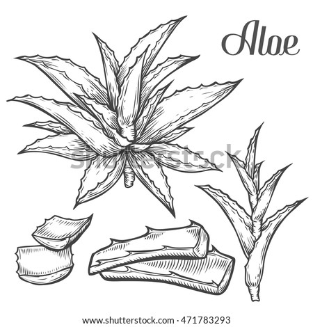 Collection Hand Drawing Aloe Isolated On 375187492