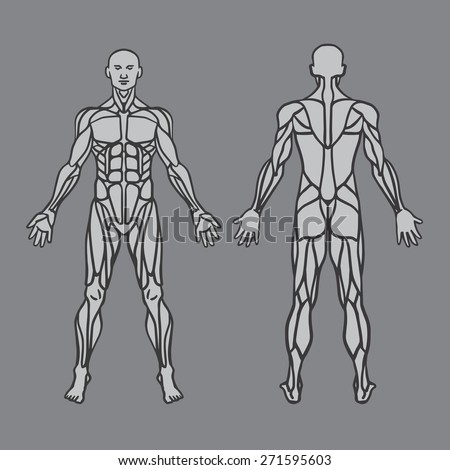 anatomy male muscular system exercise muscle stock vector, Muscles