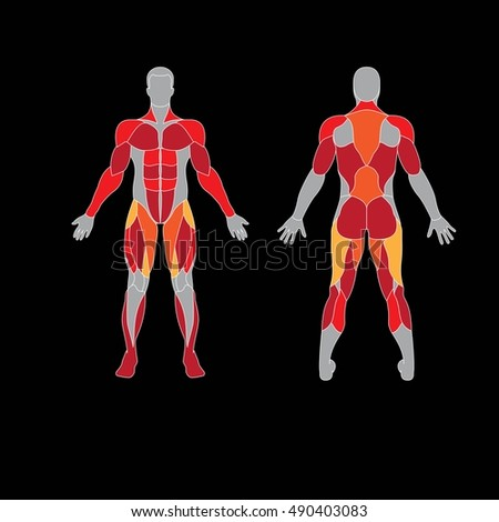 anatomy male muscular system human muscles stock vector 489319408, Muscles